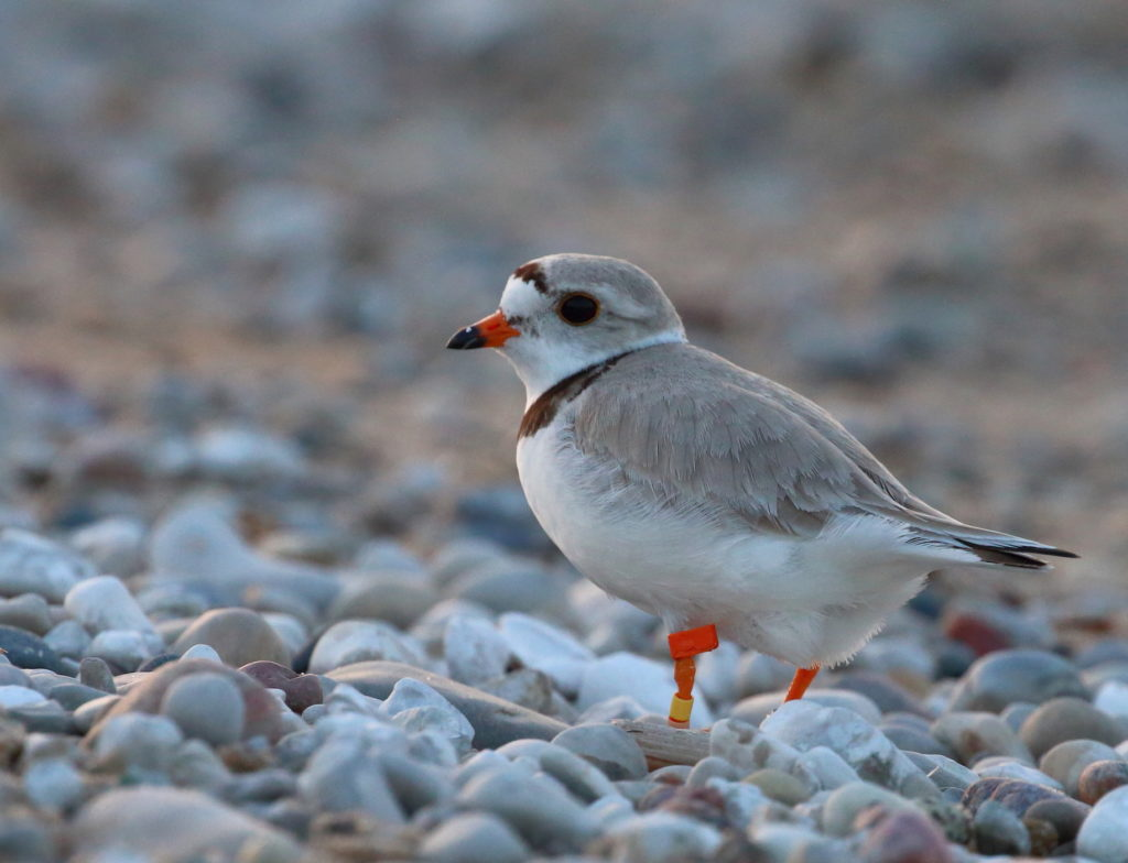 Piping Plovers - Vince Cavalieri