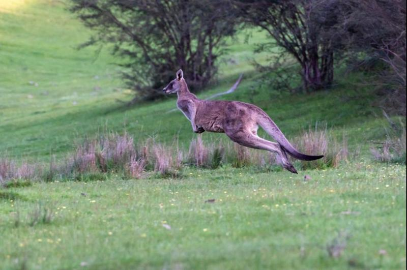 Escaped-kangaroo-on-the-loose-in-Mississippi