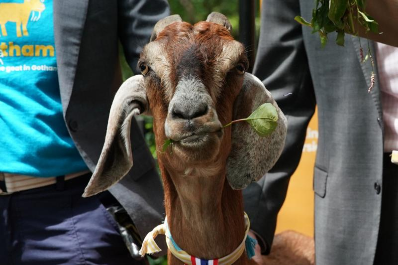 Police-Reported-crying-child-was-a-screaming-goat-with-head-in-fence