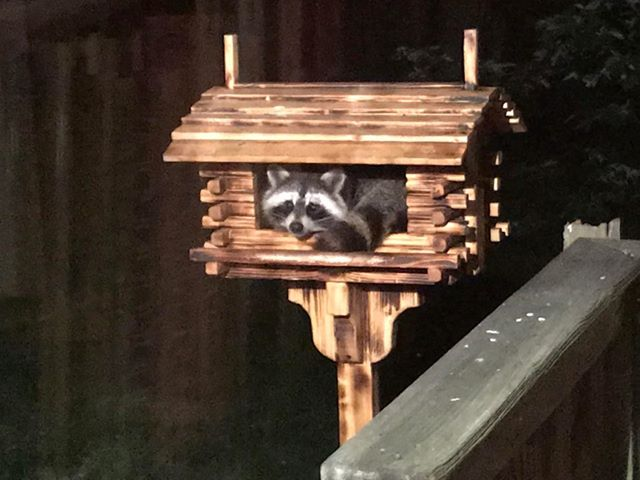 Raccoon hiding out in Clarion County. Photo submitted by Sarah Baughman.