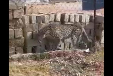 Leopard-wanders-through-town-after-game-preserve-escape