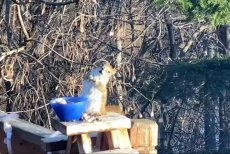 Minnesota-squirrel-appears-drunk-after-eating-old-pear