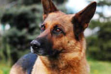 Runaway-dog-from-Canada-crosses-border-into-United-States