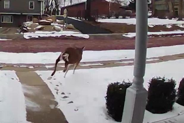 Deer-crash-through-homes-in-Pennsylvania-neighborhood