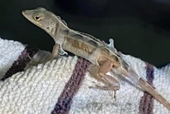 Lizard-hitches-a-ride-in-travelers-car-from-Florida-to-Massachusetts