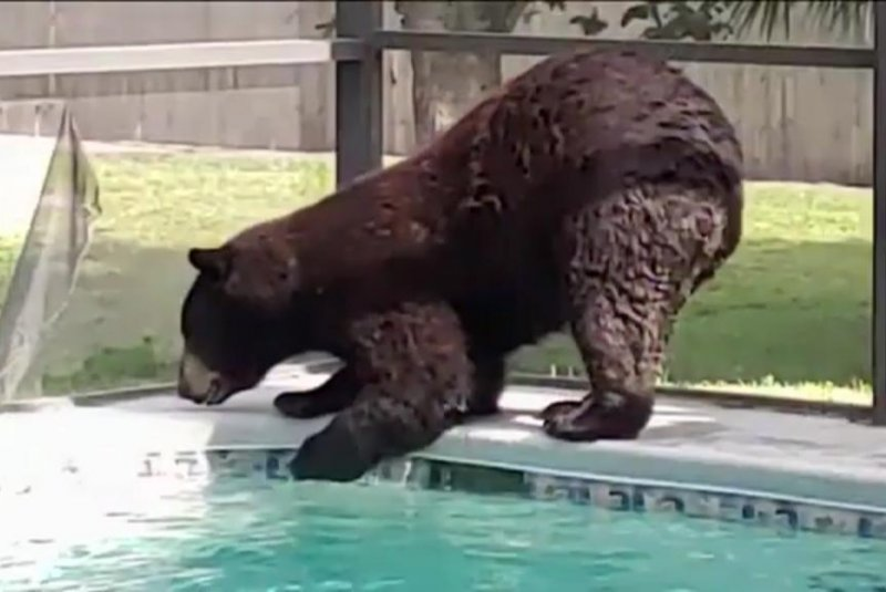 Bear-rips-hole-in-screen-to-visit-Florida-womans-swimming-pool