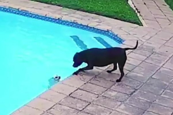 Dog-rescues-smaller-dog-from-owners-backyard-pool