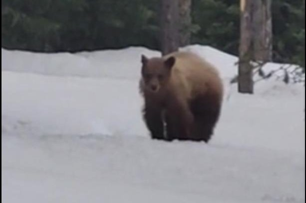Jogger-followed-by-black-bear-in-Wyoming-park
