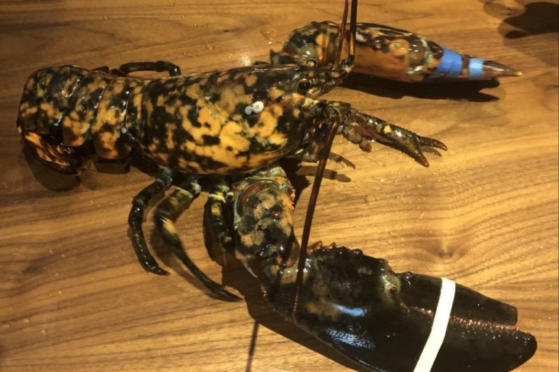 Rare-calico-lobster-rescued-by-Red-Lobster-workers-in-Virginia