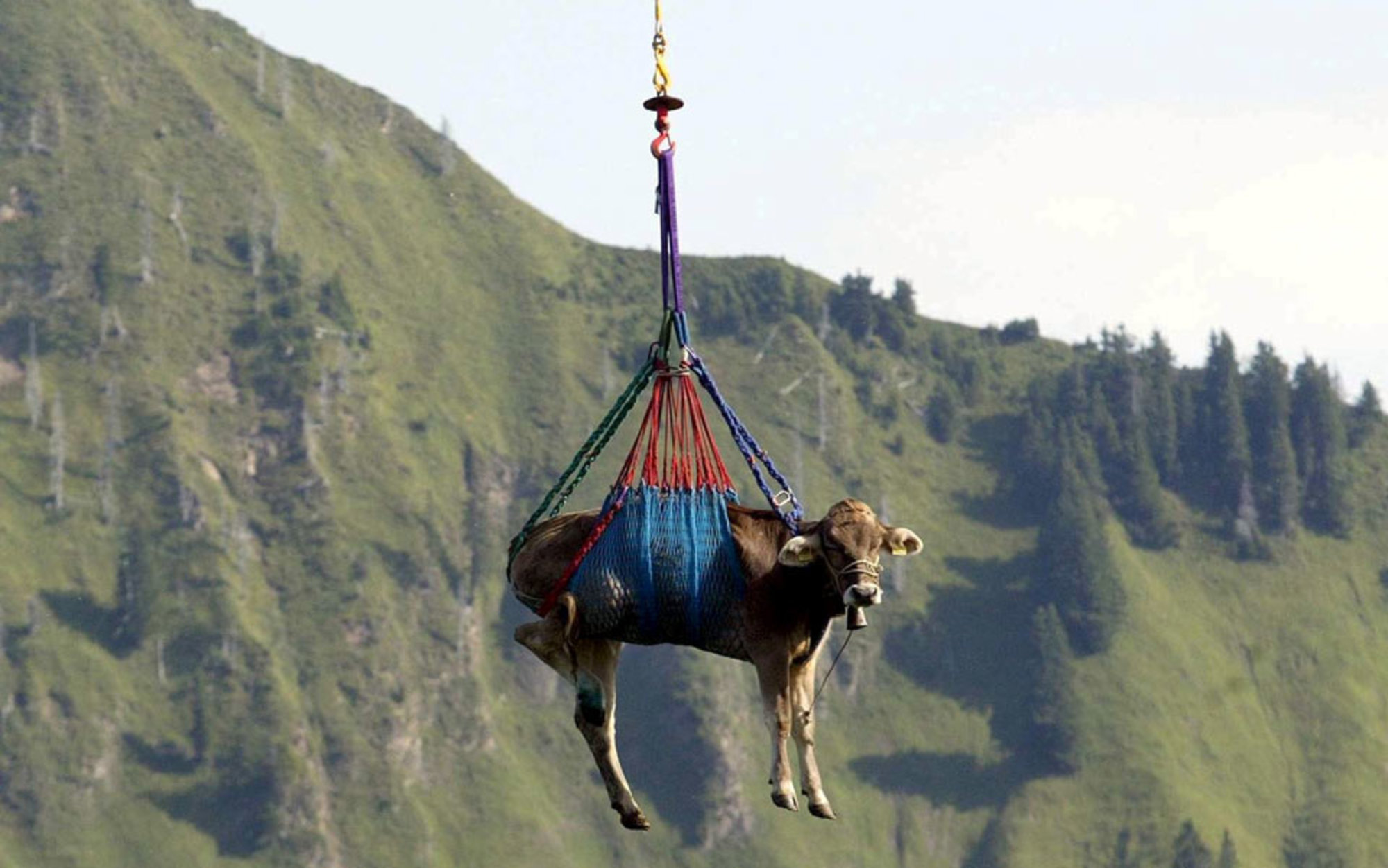 header_Cow-flying