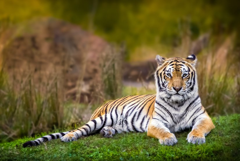 Bengal-tiger-briefly-escapes-from-enclosure-at-Indian-zoo