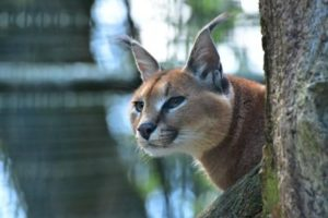 African-caracal-on-the-loose-after-escape-from-Michigan-home