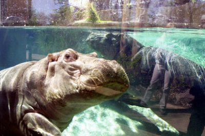 Pablo-Escobars-hippos-recognized-as-legal-persons-in-the-US