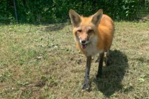 Toronto-Zoo-searching-for-escaped-red-fox